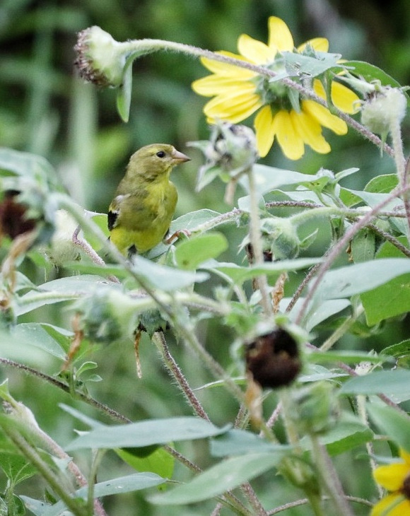Yellow Finch And Sunflowers